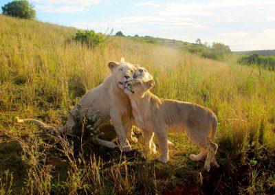 Botlierskop Safari